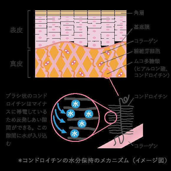* コンドロイチンの水分保持のメカニズム(イメージ図)